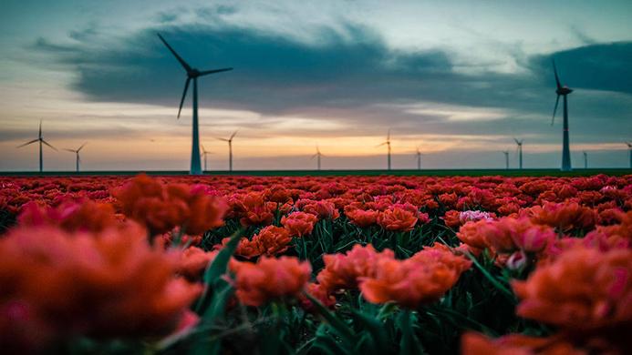 wind turbines in a field of red flowers - Fokke