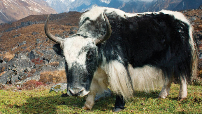 Tibetan Plateau yack