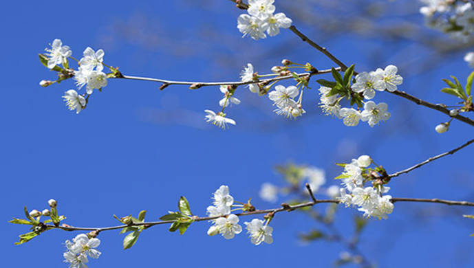 blossoming branches of cherry blossom - vignette