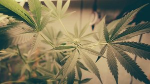 Colorado: When cannabis becomes a market by Daniel Martinez, HEC Paris - ©Fotolia-Atomazul